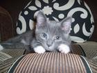 Фото в   Отдам в добрые руки котенка от сибирской в Новосибирске 0