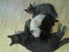 Изображение в Отдам даром - Приму в дар Отдам даром Отдам котят от британской кошки в добрые в Новосибирске 0