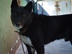 Фото в Собаки и щенки Вязка собак Русско-европейская лайка, кабель 5 лет, от в Новосибирске 0