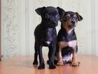 Фото в Собаки и щенки Продажа собак, щенков Продам щенков той терьера, чистокровные. в Новосибирске 3500