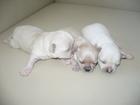 Фотография в Собаки и щенки Продажа собак, щенков Подробно можно посмотреть на сайте питомник в Новосибирске 6000