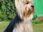 Изображение в Собаки и щенки Продажа собак, щенков Продаются две девочки йоркширского терьера. в Новосибирске 20000