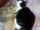 Фото в Отдам даром - Приму в дар Отдам даром Котёнок Рыжик. 29 декабря исполнилось 3 месяца. в Оби 10