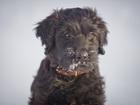 Изображение в Собаки и щенки Продажа собак, щенков предлагается к продаже очаровательный щенок в Новосибирске 35000
