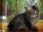 Изображение в   Продаём клубных котят курильского бобтейла. в Новосибирске 0