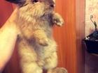 Скачать изображение Грызуны Продам голландского вислоухого кролика 38202675 в Новосибирске