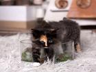 Фотография в   Яркие, чудесные котята курильского бобтейла в Новосибирске 4650