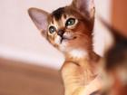 Фотография в Кошки и котята Продажа кошек и котят Питомник Fiore Divino предлагает в качестве в Новосибирске 0