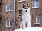 Изображение в Собаки и щенки Продажа собак, щенков Предлагается к продаже щенок Сибирского хаски в Новосибирске 0