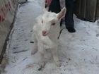 Увидеть фотографию Другие животные Козочка и козленок ищут дом 38482070 в Новосибирске