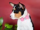 Фотография в Собаки и щенки Продажа собак, щенков ПРОДАЖА!   Отличные щенки басенджи , маленькие в Новосибирске 15000