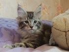 Фото в Кошки и котята Продажа кошек и котят Котята Мейн-куны из частного питомника от в Новосибирске 12000