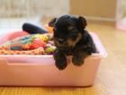Изображение в Собаки и щенки Продажа собак, щенков Продам, девочки йорка. Девчонки очень хорошие, в Новосибирске 23000