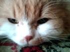 Свежее изображение Вязка Красивый кот 38823444 в Новосибирске
