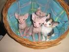 Изображение в Кошки и котята Продажа кошек и котят Готовятся к продаже котята, рожденные 19. в Новосибирске 3000