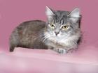 Фотография в Кошки и котята Продажа кошек и котят Невада. Возраст 10 мес. , ласковая, игривая, в Новосибирске 0