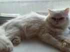 Увидеть фотографию  персидского котика 39589318 в Новосибирске