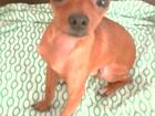 Увидеть фотографию Вязка собак мальчик ищет невесту возраст 1 год и 8 месяцев вес 1 кг 700 г девочка до 2 кг или 2 кг 39664054 в Новосибирске