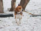 Смотреть фото Вязка собак Бигль для вязки c отличной родословной (с иностранными корнями) 52057727 в Новосибирске