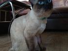 Новое фото Вязка кошек Меконский бобтейл ищет кошечку 52452292 в Новосибирске