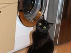 Смотреть изображение  Молодая кошка возраст 1 год (бомбейская порода) ищет кота такой же породы для первой вязки 66403862 в Бердске
