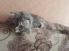 Скачать бесплатно изображение Вязка кошек Шотландский вислоухий с шикарным хвостом ищет себе невесту, 66431991 в Новосибирске