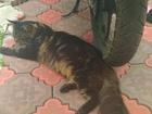 Скачать фото  Предлагается кот для вязки 68053643 в Новосибирске