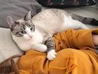 Скачать бесплатно foto  Кошка породы охос-азулес ищет партнера для вязви (не голубоглазого), 71872746 в Новосибирске