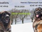 Собака-Лев Леонбергер щеночки