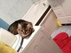 Новое foto Вязка кошек Кошечка ищет кота для вязки 85116292 в Новосибирске