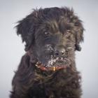 Бриар, черный щенок (французская длинношерстная овчарка)