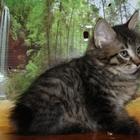 Курильский бобтейл - прекрасные котята
