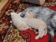 продам британских котят,кремовый окрас Продам британских котят кремового окраса