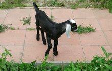 нубийский козленок