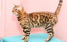 Продам бенгальского кота в разведение