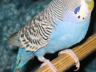 Новое фотографию Птички Птенец волнистого попугая 31226703 в Новосибирске