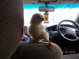 Скачать бесплатно фото Птички цыплята 32680856 в Новосибирске