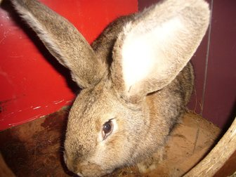 Скачать foto Грызуны Продам кроликов с доставкой от 500 рублей 32871963 в Новосибирске
