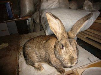 Просмотреть foto Грызуны Продам кроликов с доставкой от 500 рублей 32871963 в Новосибирске