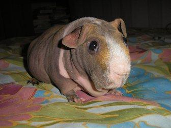 Скачать бесплатно фотографию Грызуны Морская свинка скинни, 32890882 в Новосибирске