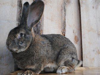 Просмотреть фото  Кролики великаны 34386356 в Новосибирске