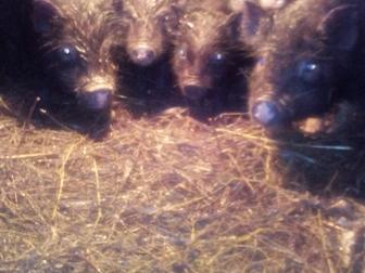 Просмотреть фото Другие животные Поросята свиньи 34711865 в Новосибирске