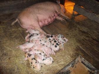 Смотреть фотографию Другие животные Поросята свиньи 34711865 в Новосибирске