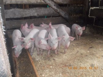Скачать бесплатно фото Другие животные Поросята свиньи 34711865 в Новосибирске