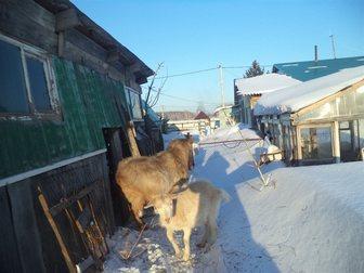 Смотреть фото Другие животные продам козла возрост 4 года 34730739 в Новосибирске