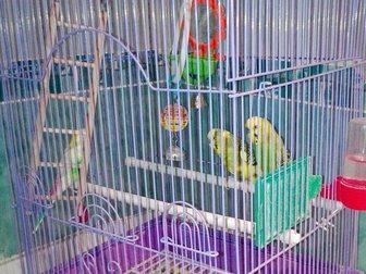 Просмотреть фотографию  Волнистые попугаи 34742570 в Новосибирске