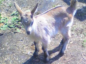 Уникальное foto Другие животные Продам козочек и козликов альпийской и зааненской пород 35891970 в Новосибирске