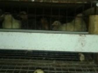 Смотреть фото Птички Перепела, перепелята, цыплята японской яйценоской породы 36424674 в Новосибирске