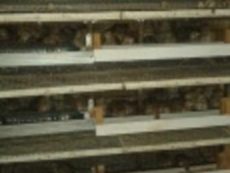 Уникальное фотографию Птички Перепела, перепелята, цыплята японской яйценоской породы 36424674 в Новосибирске