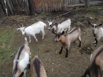Уникальное фото Другие животные Козы и козлы продам 36883797 в Новосибирске